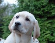 Labradorwelpen in gelb