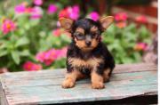 Liebevolles Terrier-York-