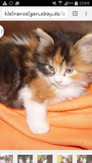 maincoon kitten gesucht