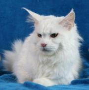 Maine Coon Kastratin,