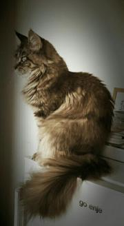 maine coon Prinzessin