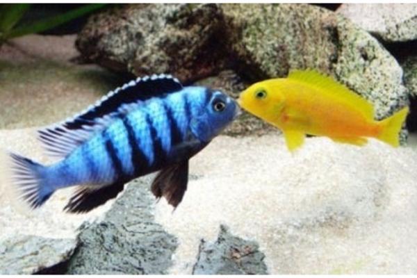 malawi mbuna pseudotropheus saulosi gruppe in gr nberg fische aquaristik kaufen und. Black Bedroom Furniture Sets. Home Design Ideas