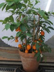 Mandarinenstrauch , Citrus