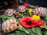 Maurische Landschildkröten 2014