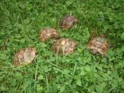 Maurische Landschildkröten - Eigene
