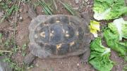 Maurische Landschildkröten Testudo