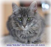 Norw. Waldkatzen-Kitten,
