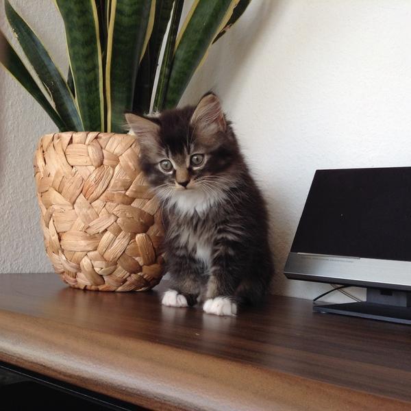 norwegische waldkatze reinrassig kater kitten auszugsbereit in neuburg katzen kaufen und. Black Bedroom Furniture Sets. Home Design Ideas
