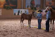 PAINT HORSE STUTFOHLEN