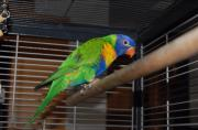 Papagei: Gebirgslori