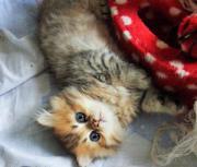 Perser Kitten in