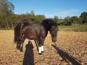 Pferd (Stute) zu