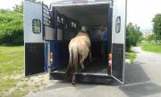 Pferdetransporte