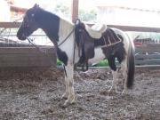 Pinto, Freizeitpferd