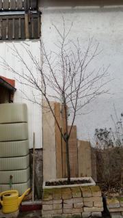 Plaumenbaum