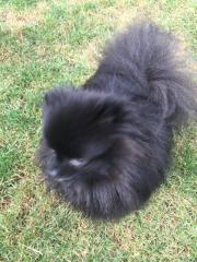 Pomeranian Zwerckspitz Mini