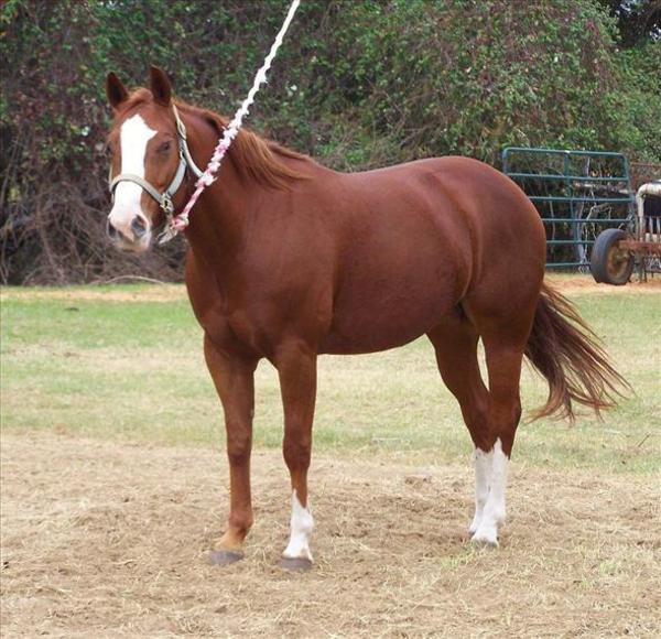 quarter horse stute zu verkaufen in kiel pferde kaufen und verkaufen ber private kleinanzeigen. Black Bedroom Furniture Sets. Home Design Ideas