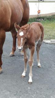 Quarter Horse Stutfohlen