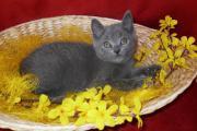 Reinrassige Kartäuser Kitten