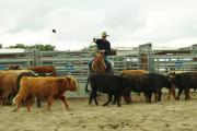 Rinder und Kühe