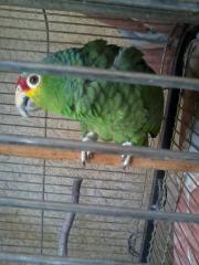 Rotstirnamazone Papagei