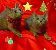 Russusch-blau kitten (