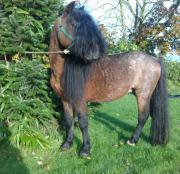 schickes Pony zu
