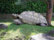 Schildkröten, Schildkröte, Riesenschildkröten,