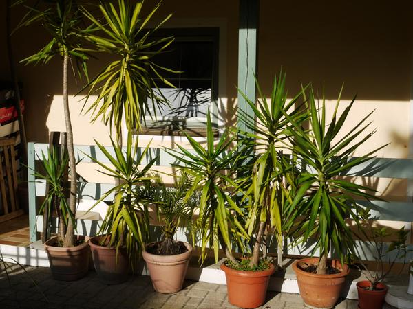 sehr sch ne yucca palmen in kraiburg pflanzen kaufen und verkaufen ber private kleinanzeigen. Black Bedroom Furniture Sets. Home Design Ideas