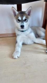 Siberian Husky / Alaskan
