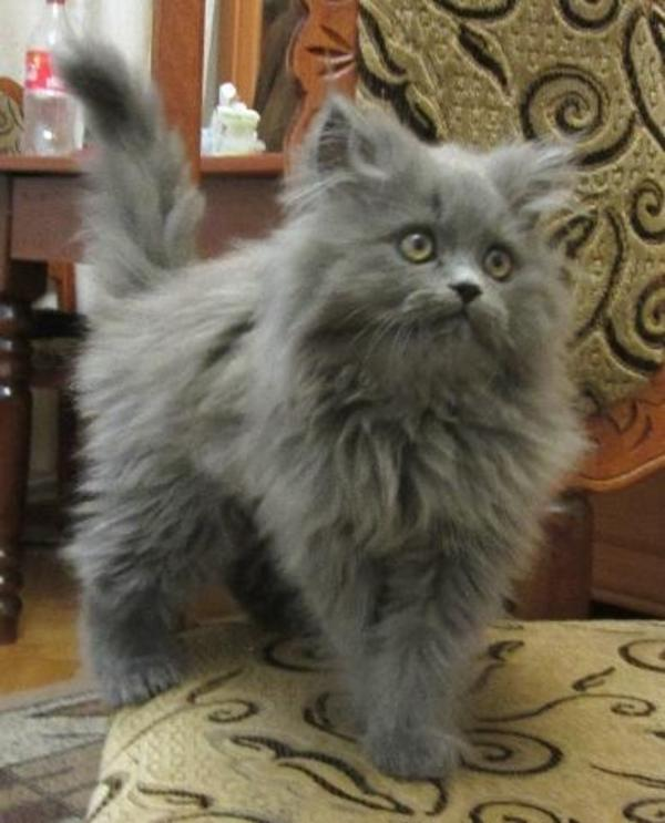 sibirische waldkatze perser mix noch 2 kleine ab sofort abzug in n rnberg katzen kaufen. Black Bedroom Furniture Sets. Home Design Ideas