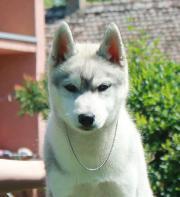Sibirischer Husky-Welpe