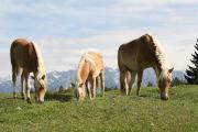 suche Haflinger (Pferde )