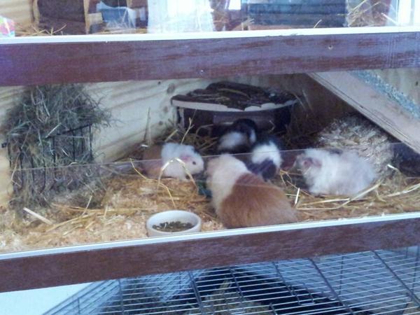 suche k fig f r meerschweinchen in mannheim zubeh r f r. Black Bedroom Furniture Sets. Home Design Ideas