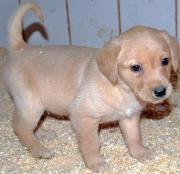 süße reinrassige Labrador