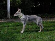 Tschechoslowakischer Wolfshund zu