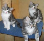 Verspielte Sibirische Katzenbabys
