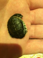 Wasserschildkröten Rotbauchspitzkopfschildkröten NZ