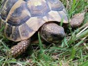 Weibliche Griechische Landschildkröte (