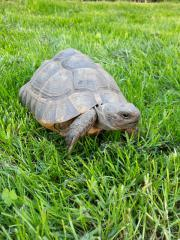 Weibliche Landschildkröte Testudo