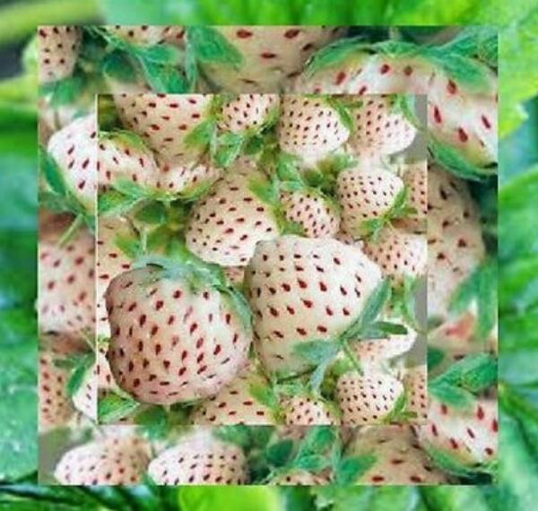 wei e erdbeeren 50x samen mit versand sehr guter ertrag in reutlingen pflanzen kaufen und. Black Bedroom Furniture Sets. Home Design Ideas