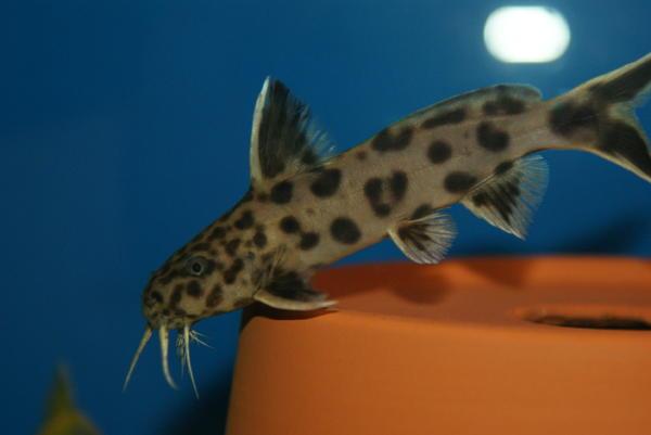 welse synodontis petricola dwarf in h rselberg hainich fische aquaristik kaufen und. Black Bedroom Furniture Sets. Home Design Ideas