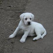 WEsse Labrador Welpen