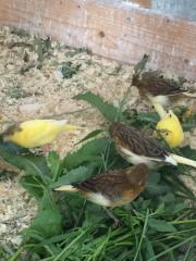 Wunderschöne nestjunge Kanarien