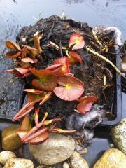 Wunderschöne Seerosen aus