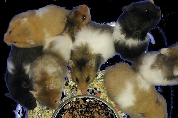 zahme hamster kinder goldhamster teddyhamster in augsburg sonstige haustiere kaufen und. Black Bedroom Furniture Sets. Home Design Ideas