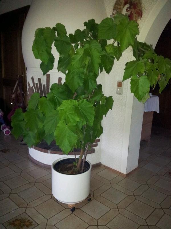 Zimmerlinde 180 cm gross in starnberg pflanzen kaufen und verkaufen ber private kleinanzeigen - Zimmerlinde bilder ...
