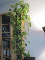 zimmerpflanzen in sch ngeising pflanzen garten g nstige angebote. Black Bedroom Furniture Sets. Home Design Ideas