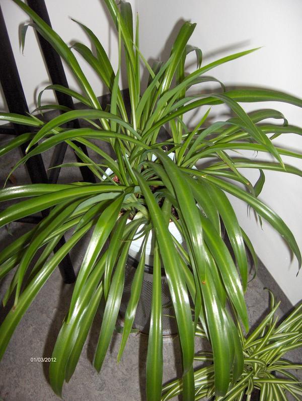 bild 6 pflanzen zimmerpflanze rankend und h ngend. Black Bedroom Furniture Sets. Home Design Ideas