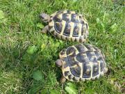 Zuchtstamm griech. Landschildkröten